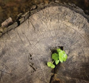 Young green tree seedling grow from the old stump.